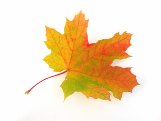 Single maple leaf