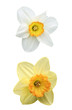 Daffodil and narcissus with dewdrops, isolated on white
