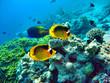 Falterfische im roten Meer