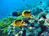 Falterfish w morzu czerwonym