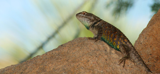 A Sonoran Spiny Lizard