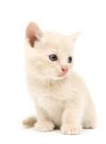 Shy yellow kitten poster