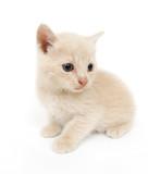 Shy little kitten poster