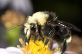 Bumblebee gathering pollen at Bellevue Botanical Gardens poster