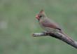 Perched Female Cardinal