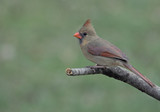 Perched Female Cardinal poster