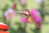 Ruby-throated Hummingbird at a Feeder poster