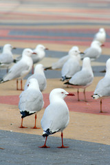 Group of seagulls..