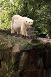 White bear in Zoo poster
