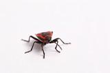 Isolated ladybug poster