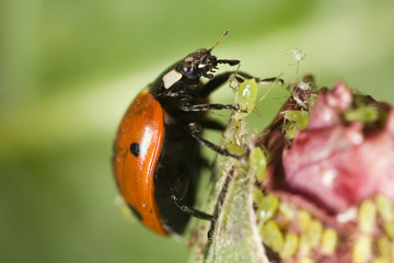 Ladybug picking up an aphid