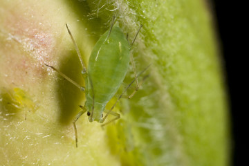 Closeup of a green aphid