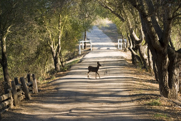 Deer crossing a road in the nature park