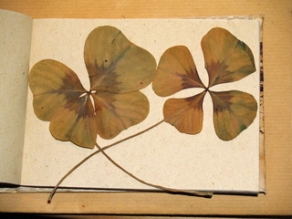 Vierblättrige Kleeblätter – getrocknet