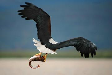African Fish Eagle (Haliaeetus vocifer).