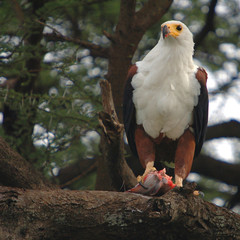 African Fish Eagle (Haliaeetus vocifer).