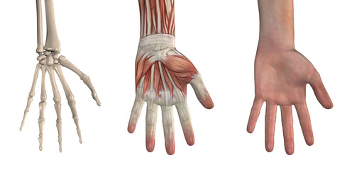 Anatomical Overlays - Hand
