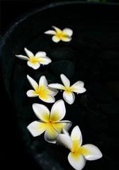 Floating frangipanis