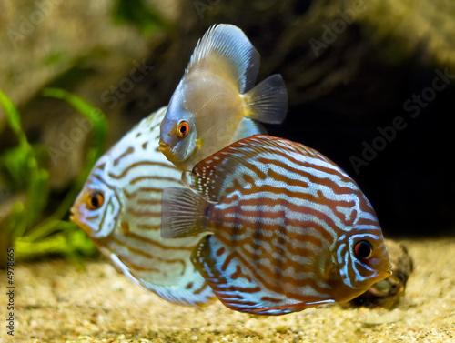 Foto op Plexiglas Indonesië colorful discus fish