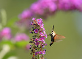 Hummingbird Moth (Common Clearwing) poster