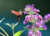 Common Clearwing Hummingbird Moth poster