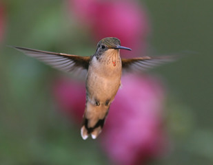 Ruby-throated Hummingbird Hovering Among the Flowers