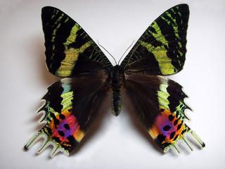 Sunset moth.