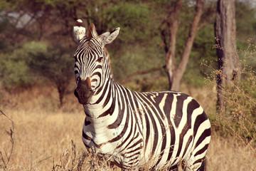 Tarangire Zebra