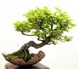 Fototapeten,bonsai,baum,ahorn,asien