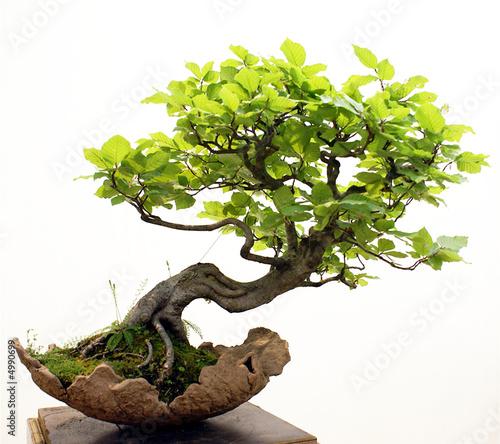 Leinwandbilder,bonsai,baum,ahorn,asien