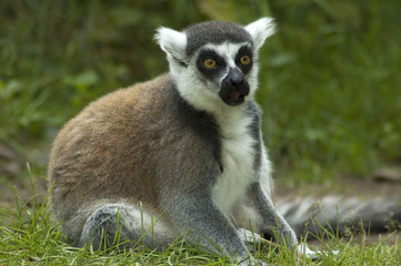 Shocked Lemur Catta