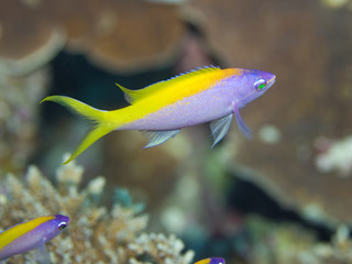 Yellow tail Anthias