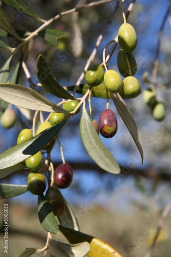 Papiers peints Oliviers Une branche d'olivier
