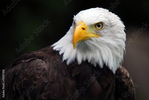 Foto op Canvas Eagle American Bald Eagle (Haliaeetus leucocephalus)