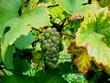 Weintrauben kurz vor der Weinlese