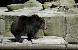 Brown bear in Zoo. Kaliningrad, Russia. poster