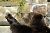 Brown bear in zoo speaks good-bye. Kaliningrad, Russia. poster