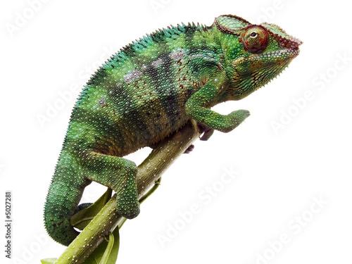 Keuken foto achterwand Kameleon caméléon