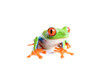 red-eyed tree frog isolated on white