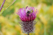 bee collecting pollen from thistle