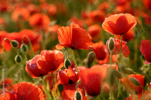 Sommer - Mohn Close-Up