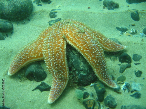 Leinwanddruck Bild Common Starfish