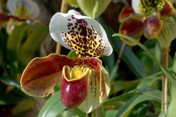 Orchideen Zuchtform