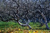 Twisted apple trees poster