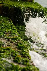 Sea moss on rocks at venice shore