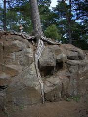 Pine On Rocks