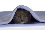 grey kitten under the blue blanket poster