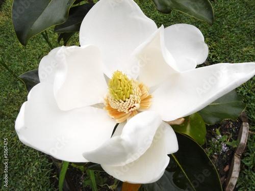 white magnolia 21