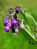 lila flowers of comfrey herb poster