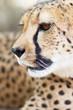 Primer plano de un guepardo